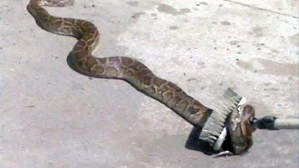 6-foot python found near Ohio KFC trash bin