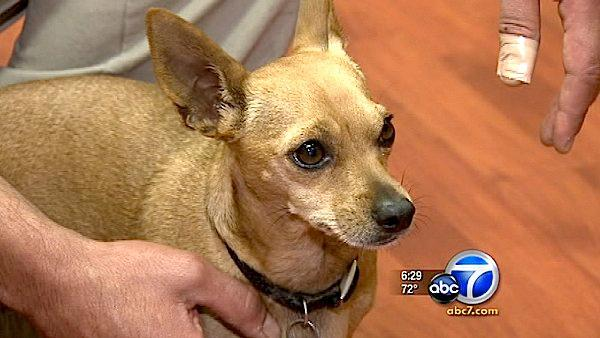 Pet Chihuahua chases away armed robbers