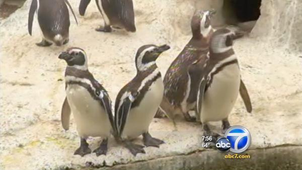 Young penguins graduate fish school at SF Zoo