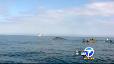 There has been another sighting of blue whales off the coast of Redondo Beachs King Harbor this weekend.