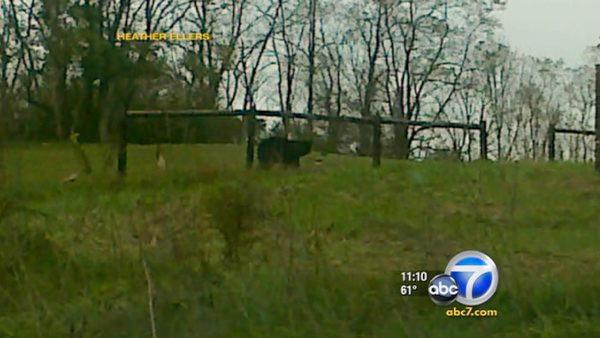 Lions, bears escape farm; owner found dead