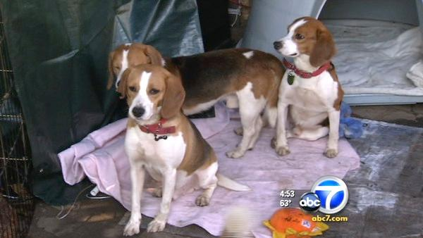 40 beagles rescued from Spain lab testing