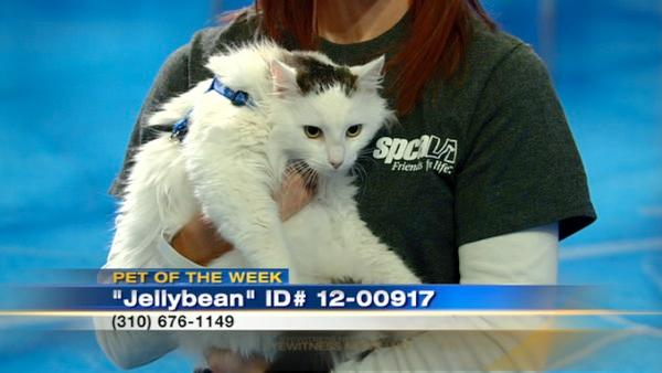Pet of the Week: Cat named Jellybean
