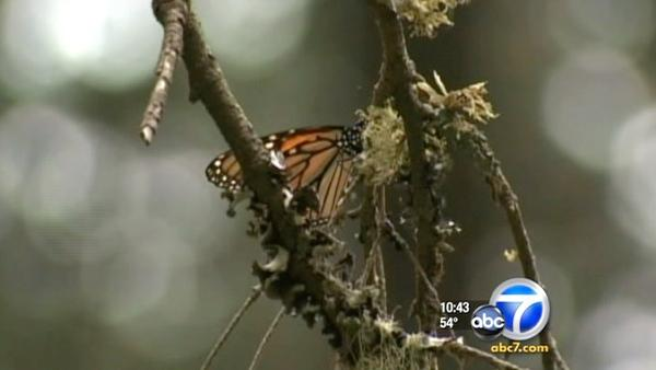 Millions of monarchs travel to Mexico forest