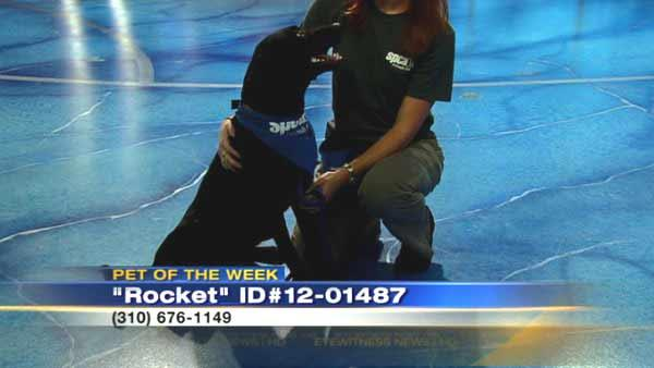Pet of the Week: 3-year-old Lab mix Rocket