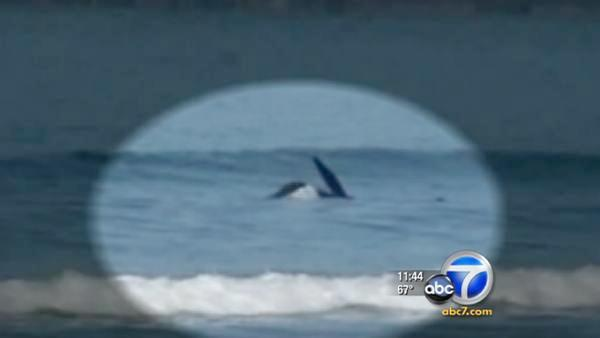 Killer whales launch s...