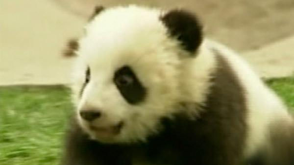 12 baby pandas adjust to new home in China