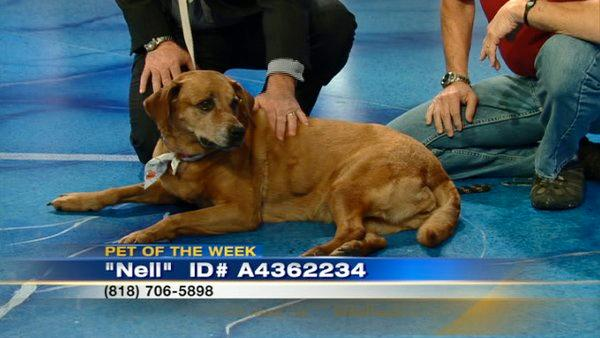 Pet of the Week: Lab-Shepherd mix named Nell