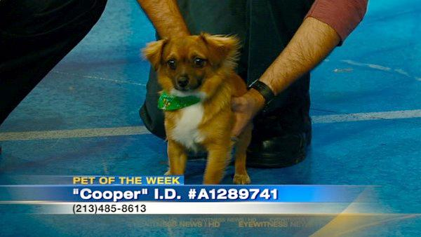 Pet of Week: Chihuahua mix named Cooper