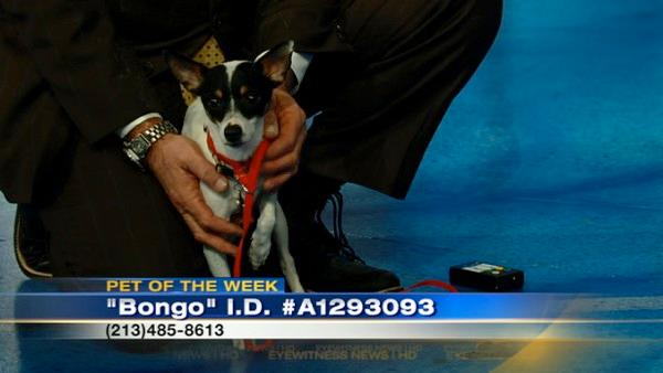 Pet of Week: Male Rat Terrier named Bongo