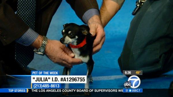 Pet of Week: 2-year-old Chihuahua Julia