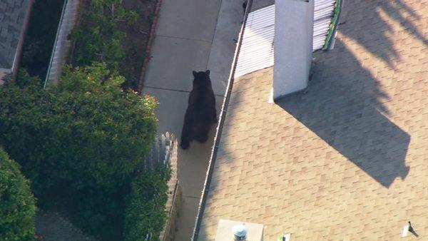 Bear climbs fence of Montrose home
