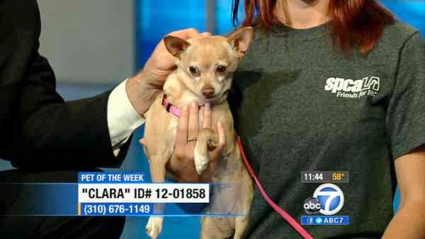 Pet of Week: 7-year-old Chihuahua mix Clara