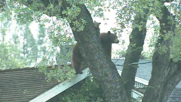 A mama bear and her two cubs perched themselves in an Altadena tree Thursday, and a crowd of people came out to watch.