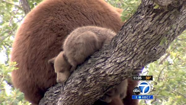 Mama bear, cubs perch in Altadena tree