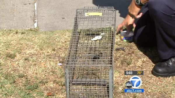 Feral cat traps set to stop typhus in OC