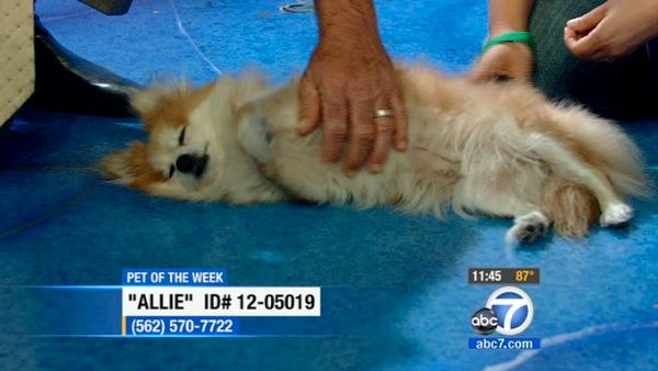 Pet of the Week: Pomeranian mix named Allie