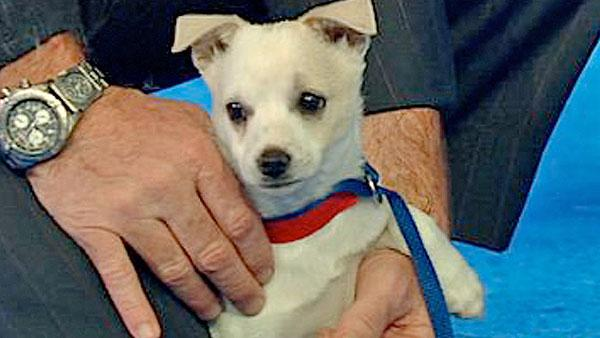 Pet of the Week: Chihuahua-mix named Terry