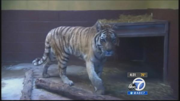 Malibu neighbors object to proposed tigers | Video | abc7.com