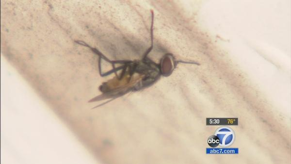 Ventura Co fly infestation aggravates residents