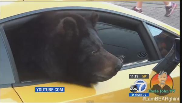 Bear in Lamborghini turns heads, goes viral