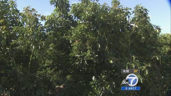 Ventura farmers protect crops during cold