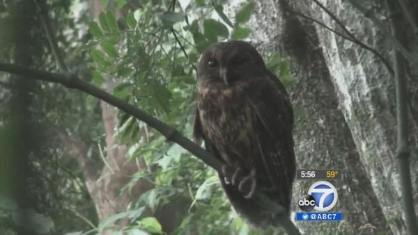 Wildomar park hopes owl will fix rat problem