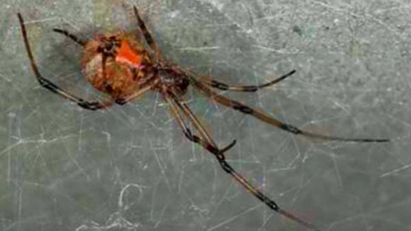 Southern Californians warned of brown widows