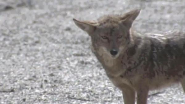 Carson coyotes won't be trapped for now
