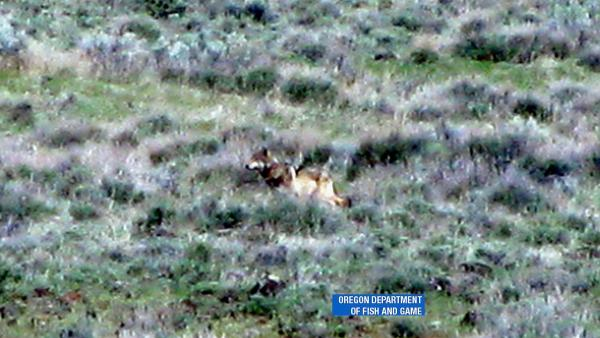 Concern for lone Calif. wolf during coyote hunt