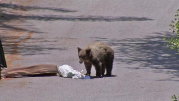 Bear cub frequents Duarte for snacks