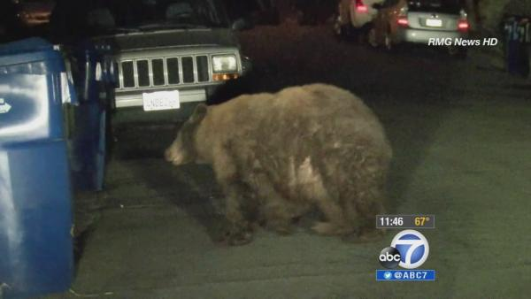 Bears ramble around Monrovia on trash day