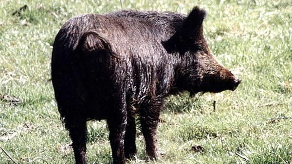 Wild pigs destroy grass at park in Eastvale