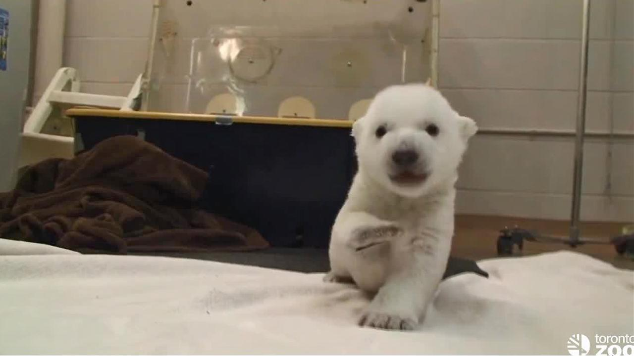 A polar bear at the Toronto Zoo took his first steps on Friday, Jan. 10, 2014. The cub was born Nov. 9 and now weighs 9 pounds. The zoo plans to hold a contest to pick the cubs name.