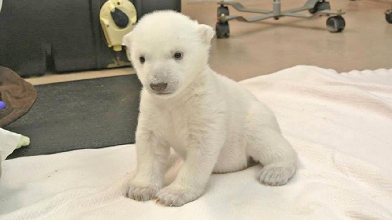 A polar bear at the Toronto Zoo took his first steps on Friday, Jan. 10, 2014. The cub was born Nov. 9 and now weighs 9 pounds. The zoo plans to hold a contest to pick the cubs name. <span class=meta>(facebook.com&#47;TheTorontoZoo)</span>