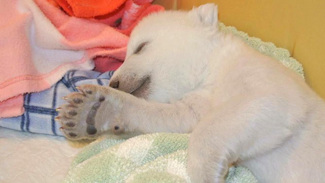 A polar bear at the Toronto Zoo took his first steps on Friday, Jan. 10, 2014. The cub was born Nov. 9 and now weighs 9 pounds. The zoo plans to hold a contest to pick the cubs name.facebook.com/TheTorontoZoo