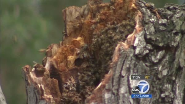 3 attacked by bees in La Canada Flintridge