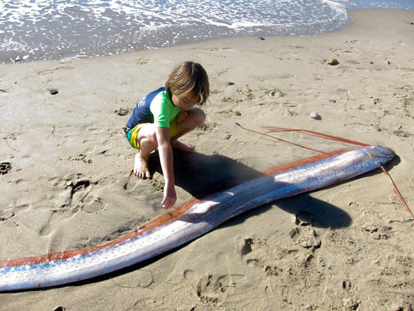 A 12-foot-long bony oarfish typically found in tropical waters washed ashore in Malibu on Sunday, Nov. 28.  Laura Wasserman and her son found the fish and called the California Wildlife Center.  The Los Angeles County Natural History Museum this week took possession of the serpentine fish and will do tests to figure out its last meal, how it died and why it wandered ashore. <span class=meta>(KABC Photo&#47; Viewer Laura Z. Wasserman)</span>
