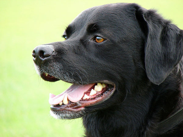 Labrador Retrievers ranked No. 1 on the American Kennel Club&#39;s list of top dog breeds in America. The numbers are based on AKC dog registration statistics for 2010.  <span class=meta>(flickr)</span>