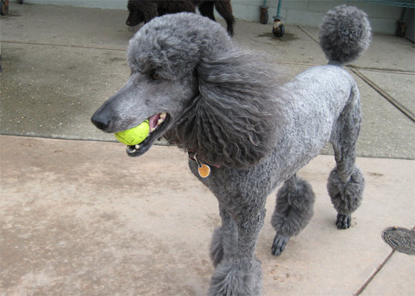 Poodles ranked No. 9 on the American Kennel Club&#39;s list of top dog breeds in America. The numbers are based on AKC dog registration statistics for 2010. <span class=meta>(flickr)</span>