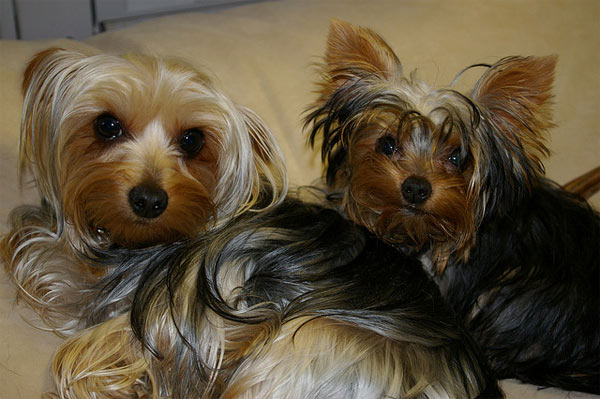 Yorkshire Terriers ranked No. 3 on the American Kennel Club&#39;s list of top dog breeds in America. The numbers are based on AKC dog registration statistics for 2010. <span class=meta>(flickr)</span>