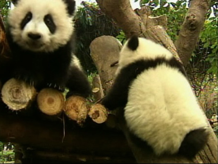 "<div class=""meta image-caption""><div class=""origin-logo origin-image ""><span></span></div><span class=""caption-text"">Twelve baby giant pandas are adjusting in their new home in China's southwest Sichuan province. The pandas, who recently left their mother at the Cheng Research Base of Giant Panda Breeding, are sharing a new enclosure, and the display of cuteness is drawing huge crowds.  (KABC)</span></div>"