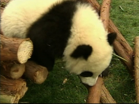 "<div class=""meta ""><span class=""caption-text "">Twelve baby giant pandas are adjusting in their new home in China's southwest Sichuan province. The pandas, who recently left their mother at the Cheng Research Base of Giant Panda Breeding, are sharing a new enclosure, and the display of cuteness is drawing huge crowds.  (KABC)</span></div>"