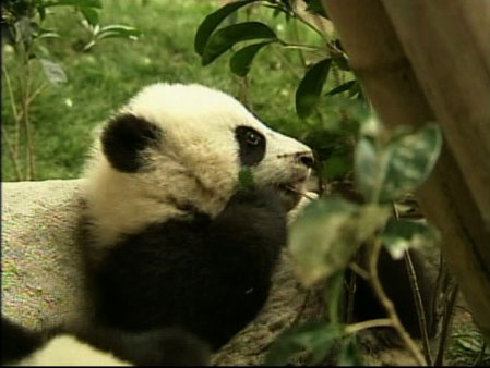 Twelve baby giant pandas are adjusting in their...