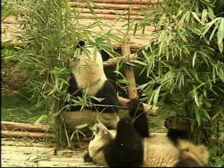 Twelve baby giant pandas are adjusting in their new home in China's southwest Sichuan province.