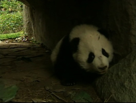 Twelve baby giant pandas are adjusting in their new home in China&#39;s southwest Sichuan province. The pandas, who recently left their mother at the Cheng Research Base of Giant Panda Breeding, are sharing a new enclosure, and the display of cuteness is drawing huge crowds.  <span class=meta>(KABC)</span>