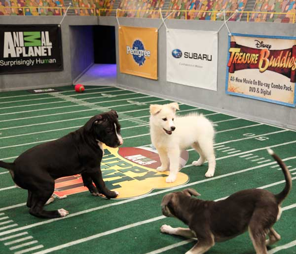 "<div class=""meta ""><span class=""caption-text "">Animal Planet provided KABC-TV this image of  puppies Aberdeen, Anthony and Ronnie in play. (Photo courtesy of Animal Planet / Kim Holcombe)</span></div>"