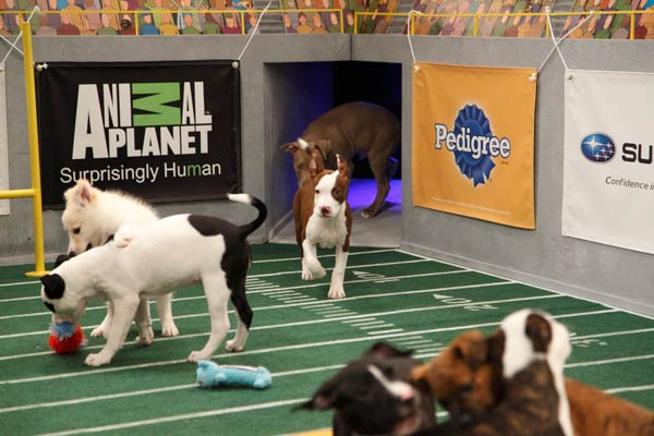"<div class=""meta image-caption""><div class=""origin-logo origin-image ""><span></span></div><span class=""caption-text"">Animal Planet provided KABC-TV this image of puppies in play. (Photo courtesy of Animal Planet / Kim Holcombe)</span></div>"