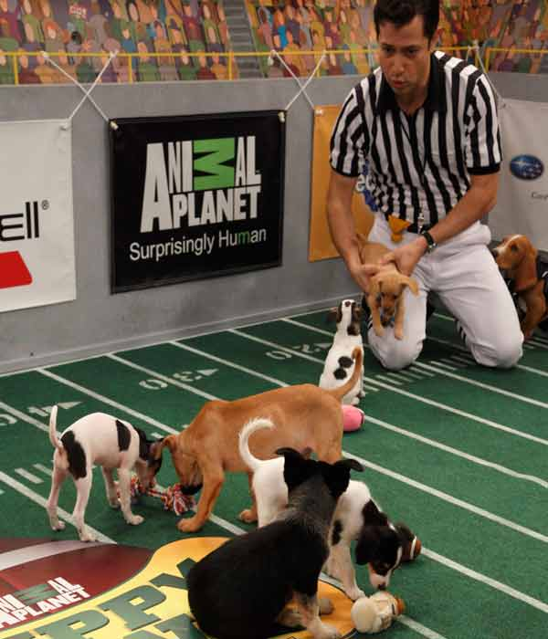 Animal Planet provided KABC-TV this image of Ref Dan Schachner with the puppies in play.
