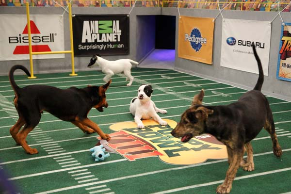 Animal Planet provided KABC-TV this image of puppy Holly playing with  Pixie and Augusta. <span class=meta>(Photo courtesy of Animal Planet &#47; Kim Holcombe)</span>